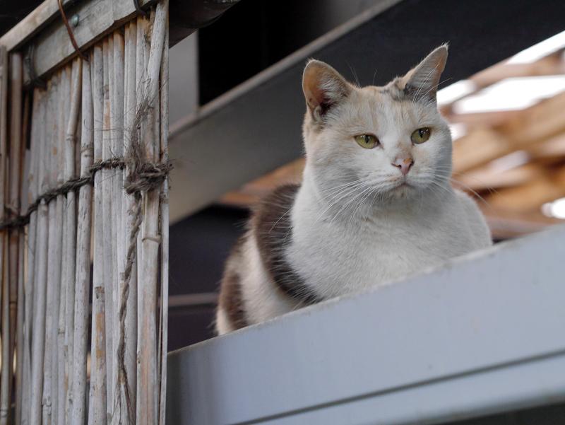 物置の上の三毛猫2