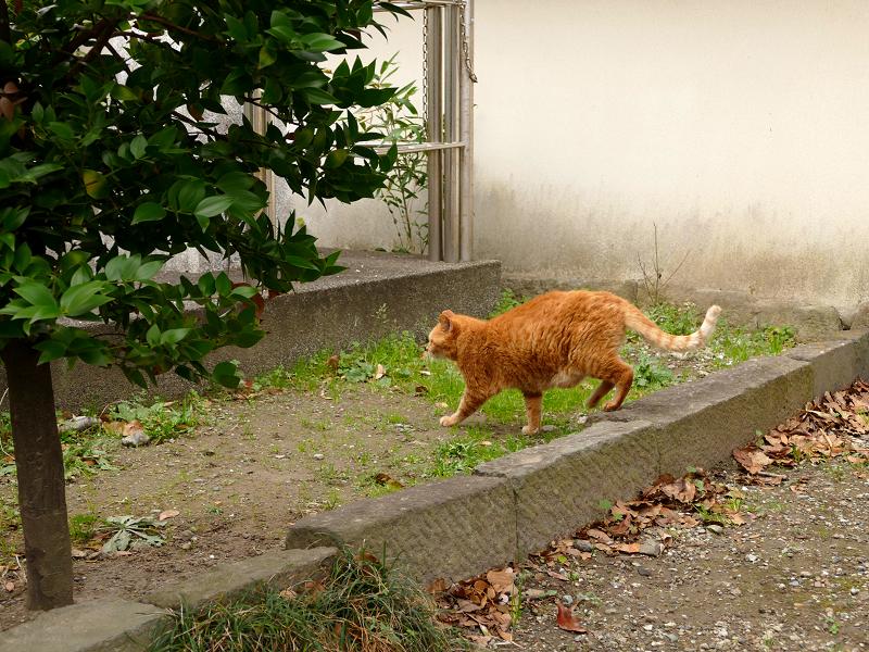 登場した茶トラ猫2