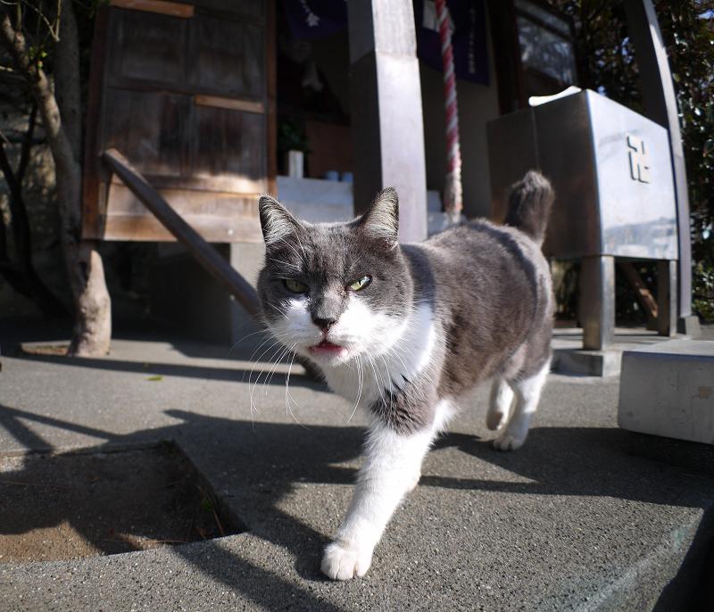 グイグイ寄って来たグレー白猫1