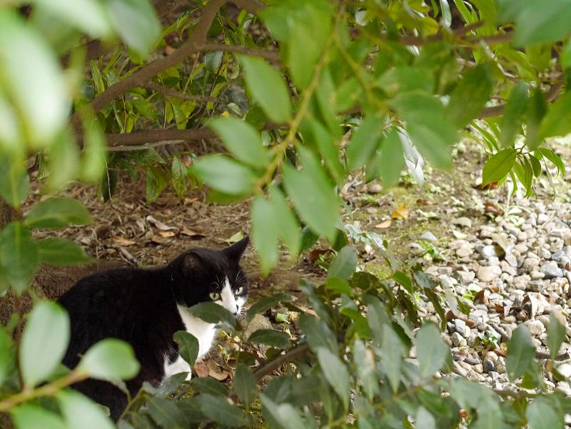 茂みと黒白猫1
