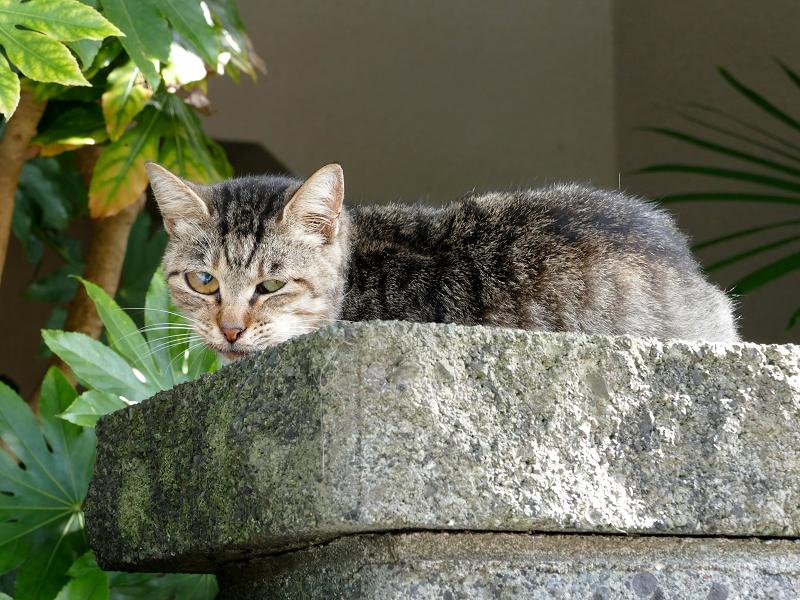 石門柱のキジトラ猫1