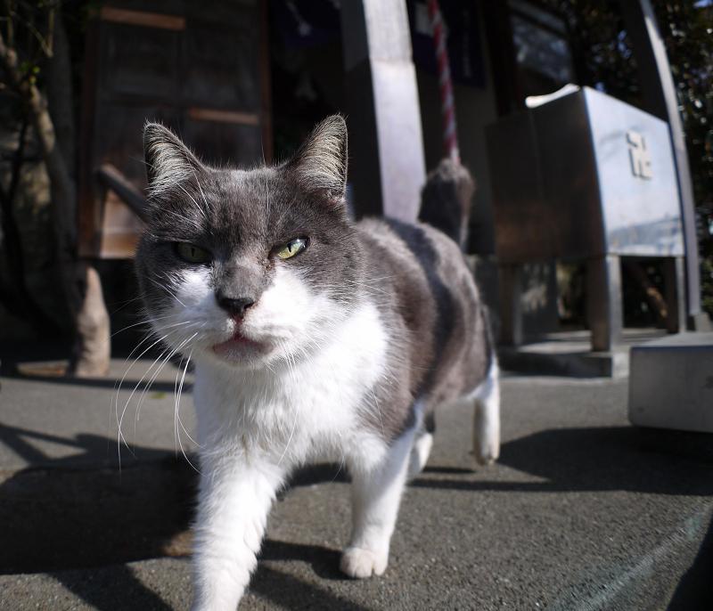 グイグイ寄って来たグレー白猫2