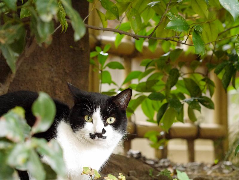 茂みと黒白猫2