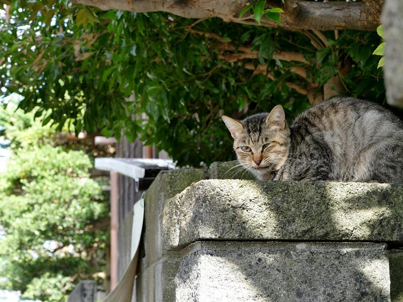 石門柱のキジトラ猫2