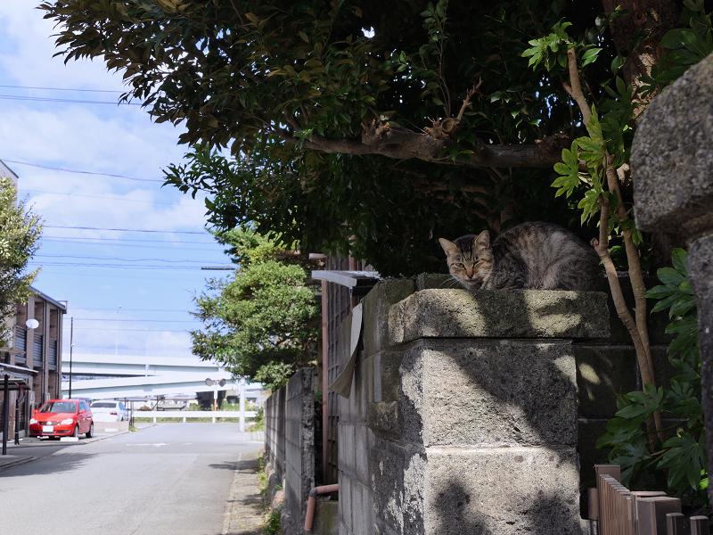 石門柱のキジトラ猫3