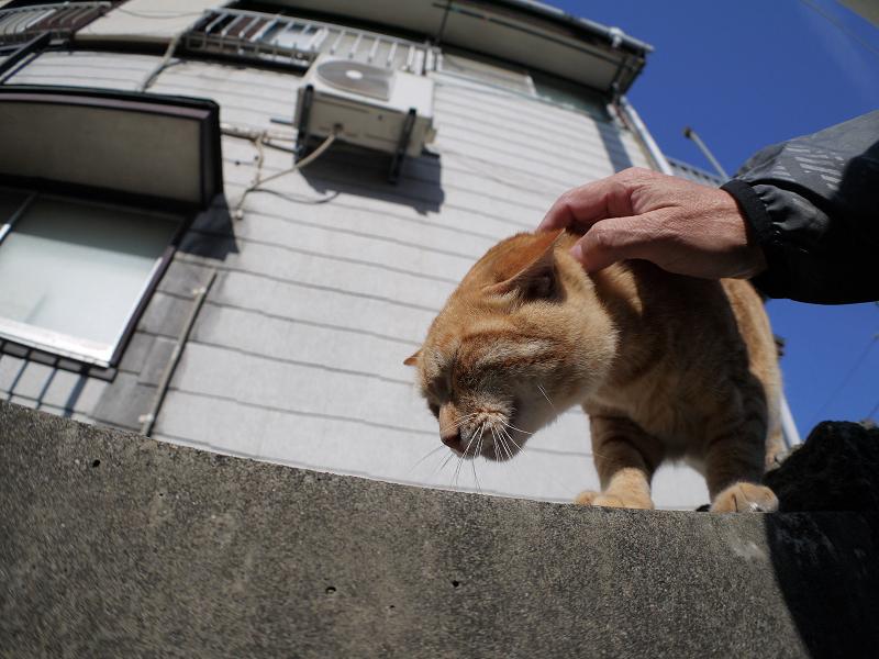 青空の下触れ合った茶トラ猫2
