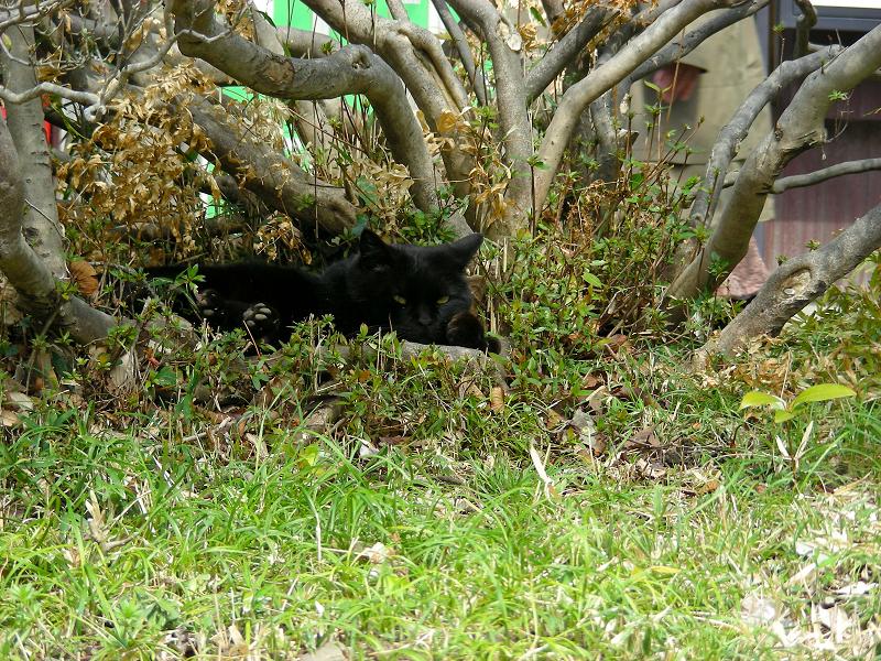茂みの黒猫1