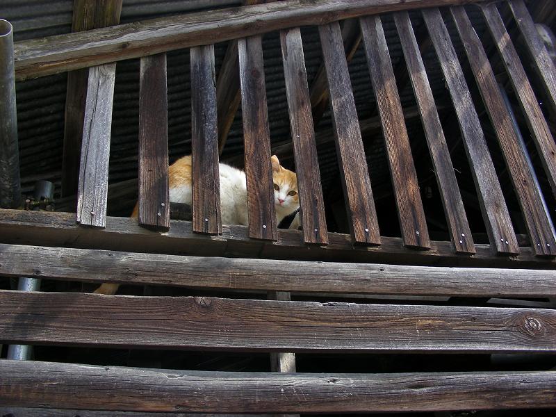 納屋の隙間から見ている茶白猫1