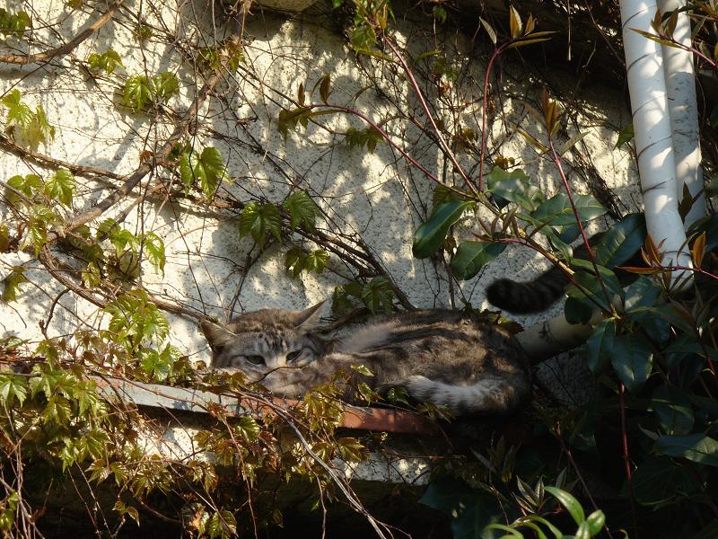蔦が絡まる壁の前で寝ていたキジ白猫1