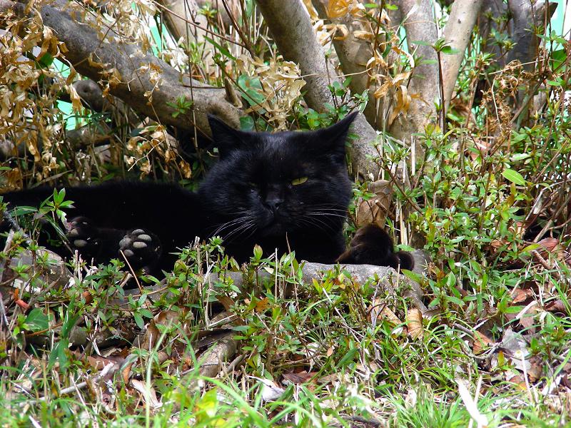 茂みの黒猫2
