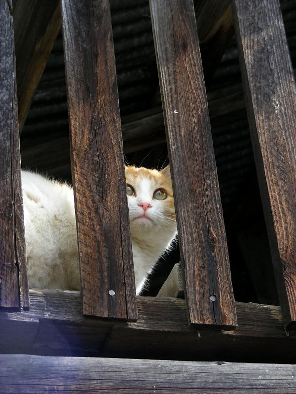 納屋の隙間から見ている茶白猫2