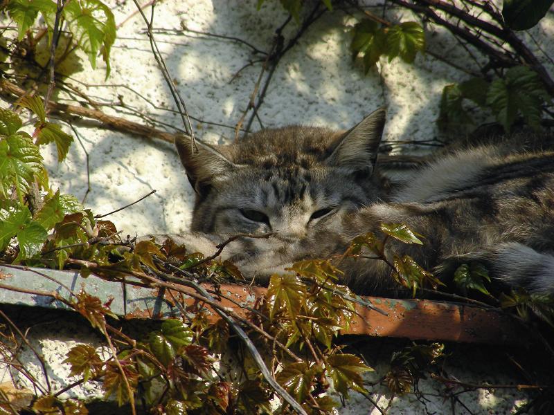 蔦が絡まる壁の前で寝ていたキジ白猫2