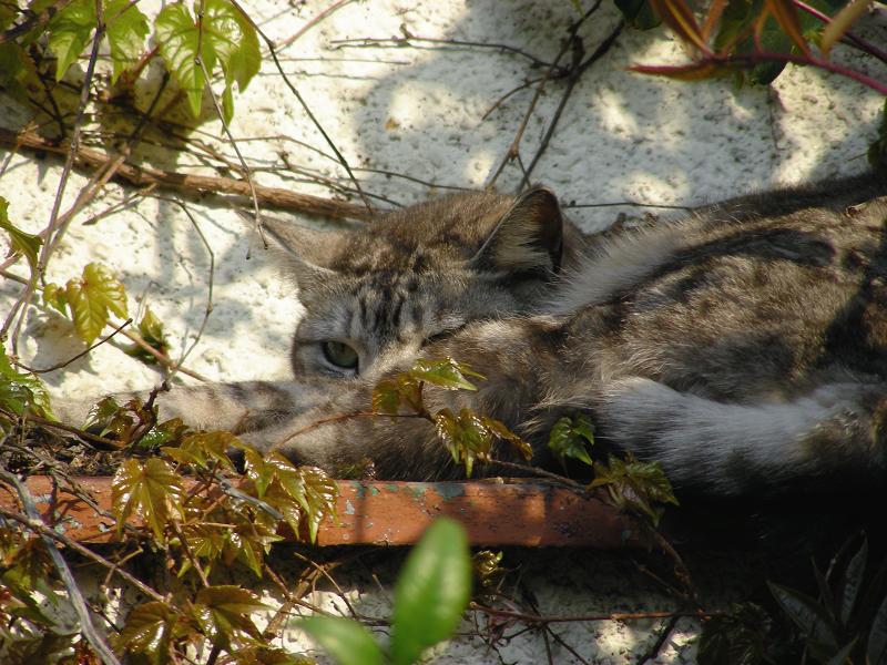 蔦が絡まる壁の前で寝ていたキジ白猫3