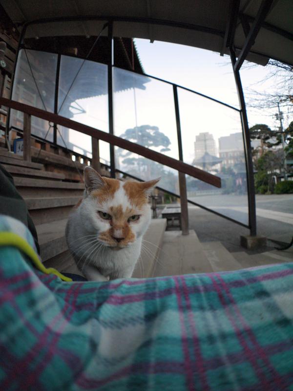 毛布を掛けた膝に乗ってくる茶白猫1