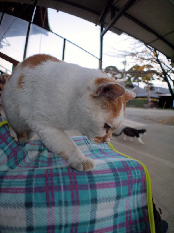 毛布を掛けた膝に乗ってくる茶白猫2