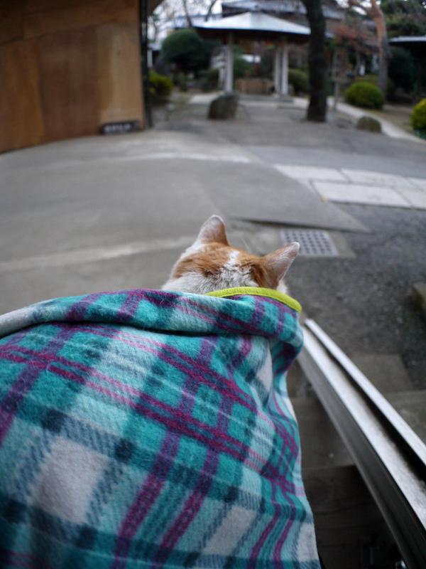 毛布を掛けた膝に乗ってくる茶白猫3