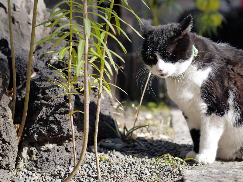 不機嫌な黒白猫1