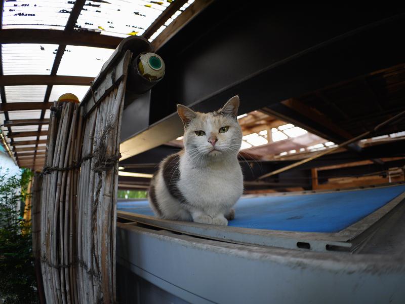 物置の上からジット見てる三毛猫1