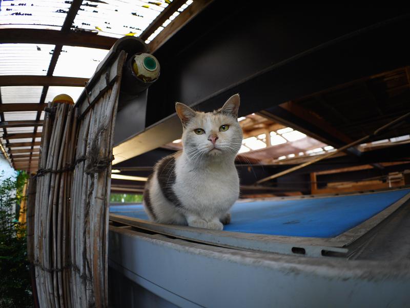 物置の上からジット見てる三毛猫2