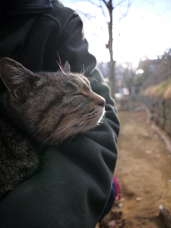 膝に乗ってくっついて寝ているキジトラ猫3