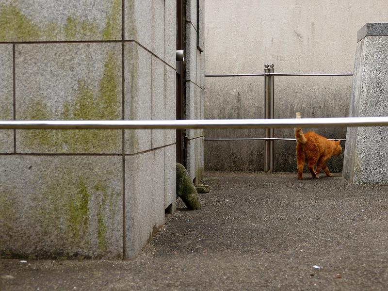 歩く茶トラ猫の後ろ姿3