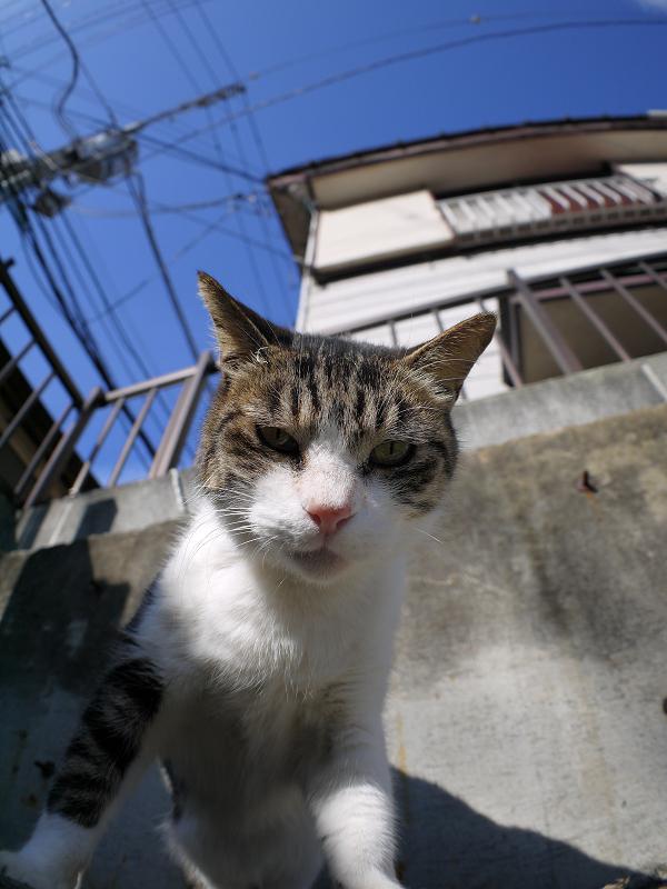 青空の下ローアングルのキジ白猫2