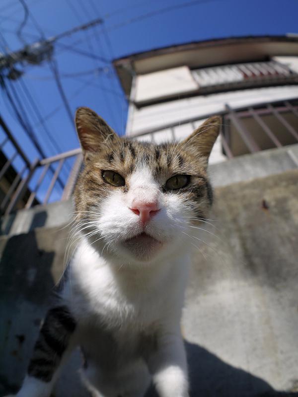 青空の下ローアングルのキジ白猫3