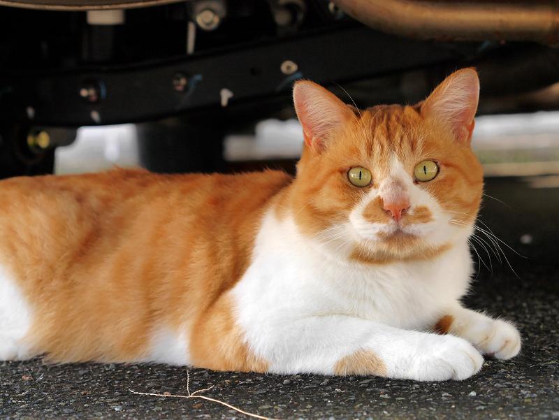 車の下の茶白猫3