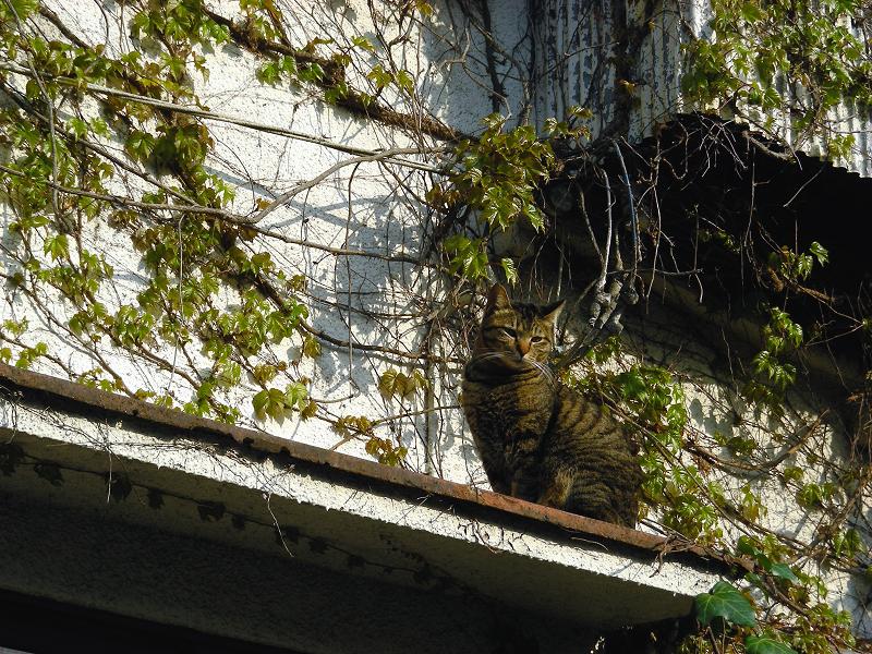 蔦が絡まる壁の端のキジトラ猫1