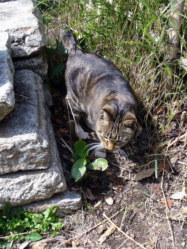 石積みの横のキジ白猫1
