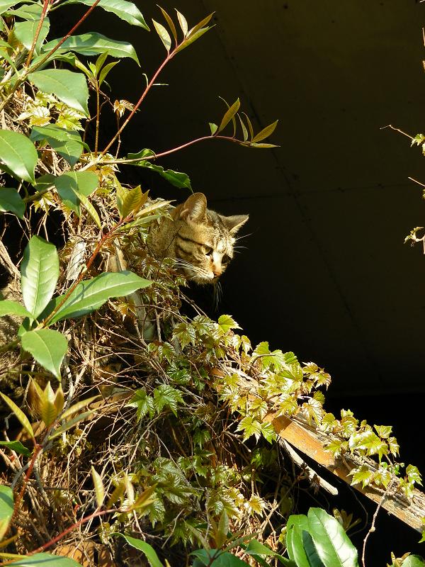 蔦が絡まる壁の端のキジトラ猫2