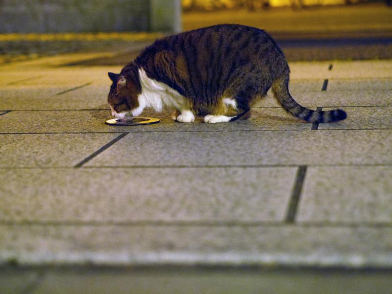 石畳で水を飲んでるキジ白猫1