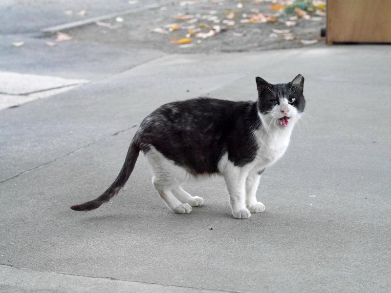 見ながら鳴く黒白猫1