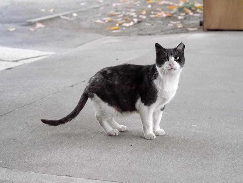 見ながら鳴く黒白猫2