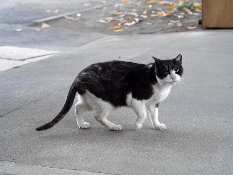 見ながら鳴く黒白猫3