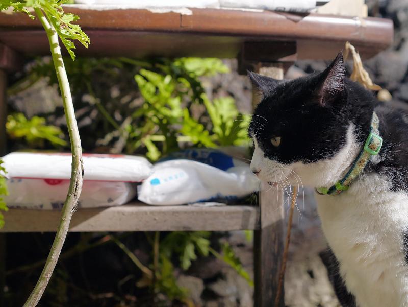 ベロを出す黒白猫1
