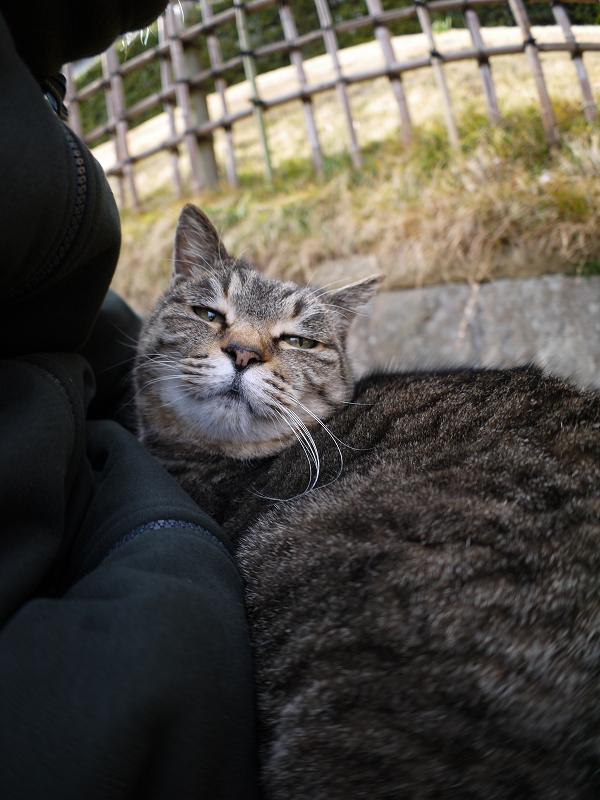 膝の眠りから覚めたキジトラ猫1