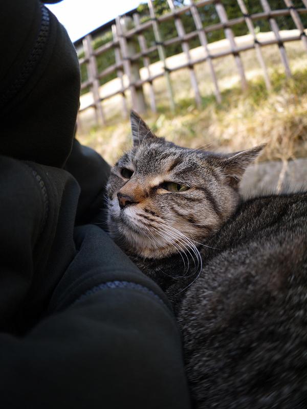 膝の眠りから覚めたキジトラ猫2