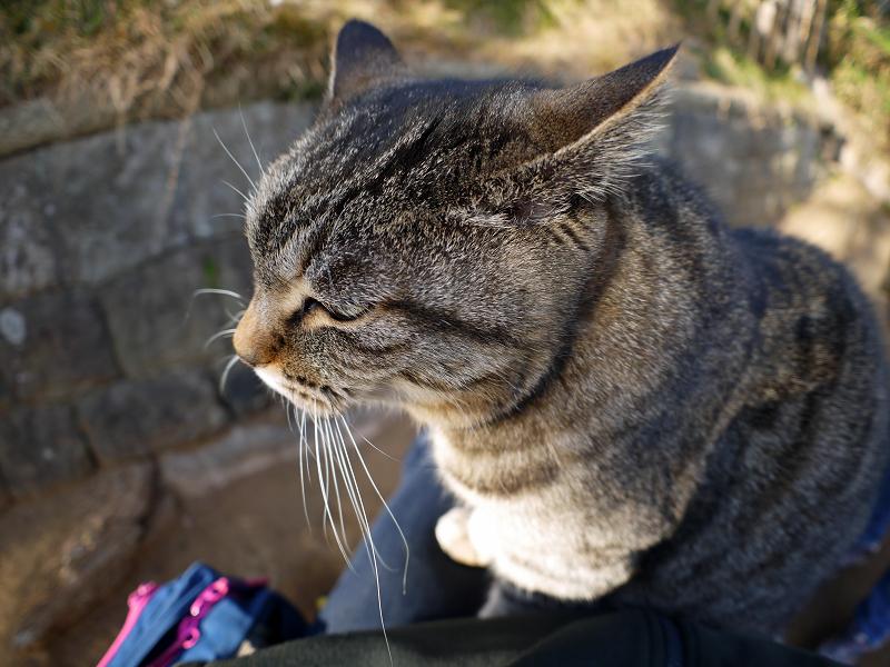 膝の眠りから覚めたキジトラ猫3