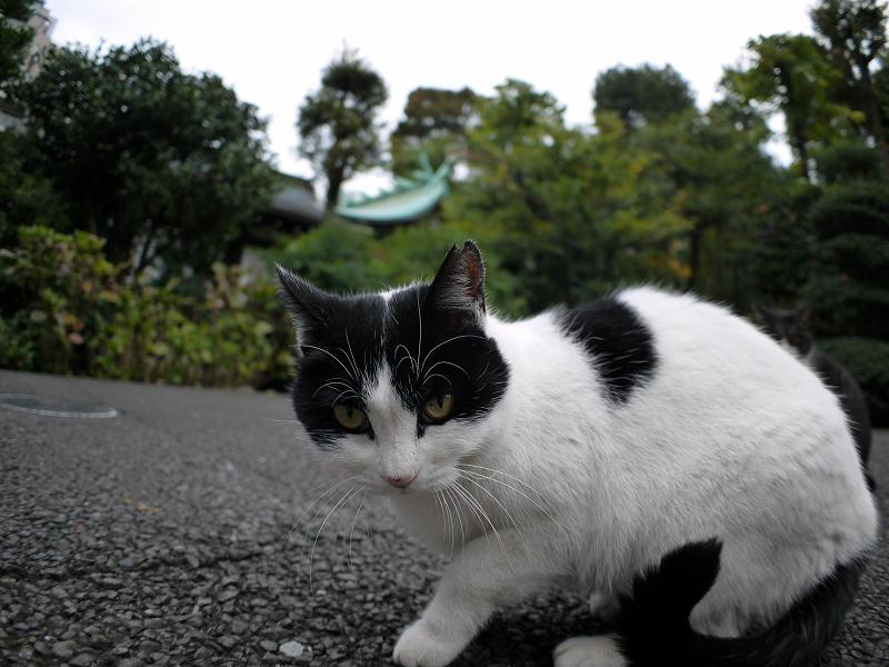 近くまで寄れた白黒猫1
