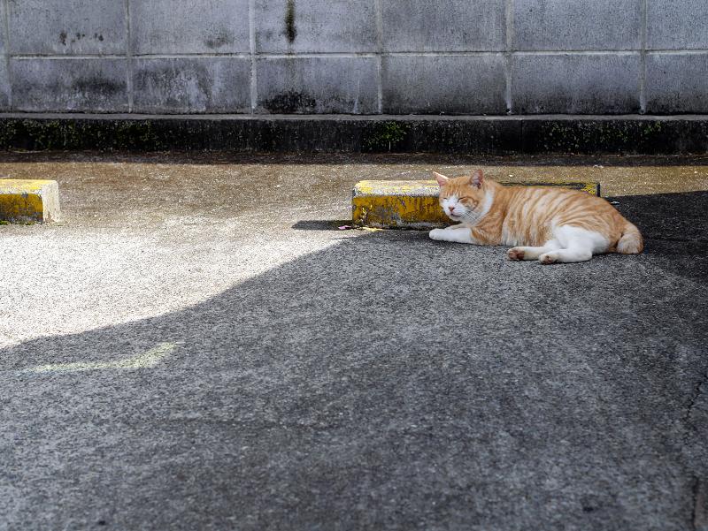 駐車場の縞模様茶白猫1