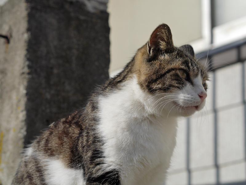 日差しの中のキジ白猫1