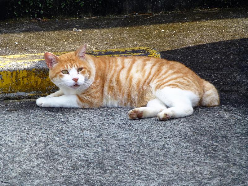 駐車場の縞模様茶白猫2