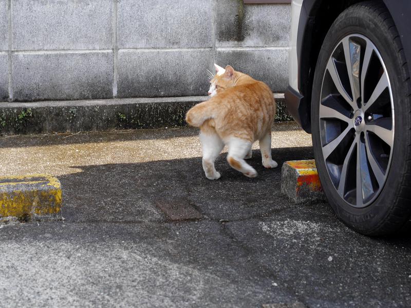 駐車場の縞模様茶白猫3