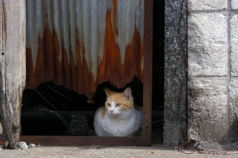 トタン板の隙間から茶白猫1