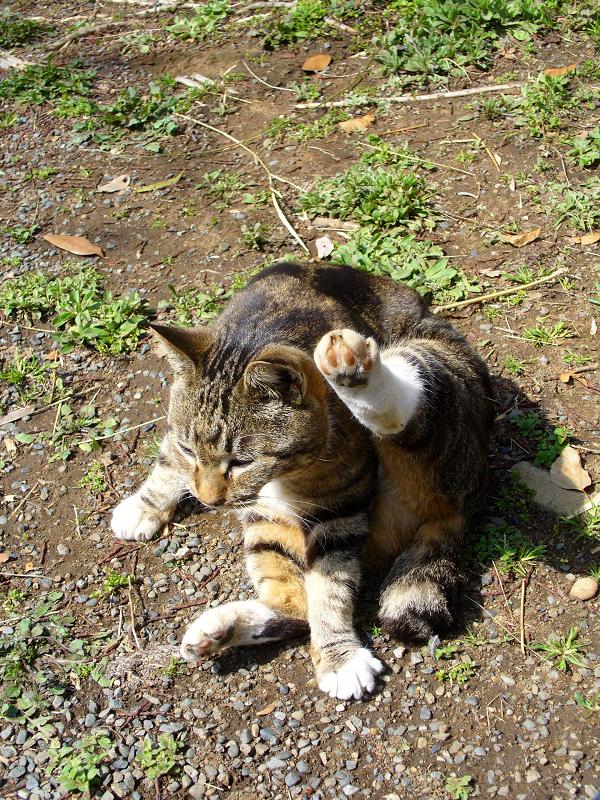 足を上げて毛づくろい中のキジ白猫1