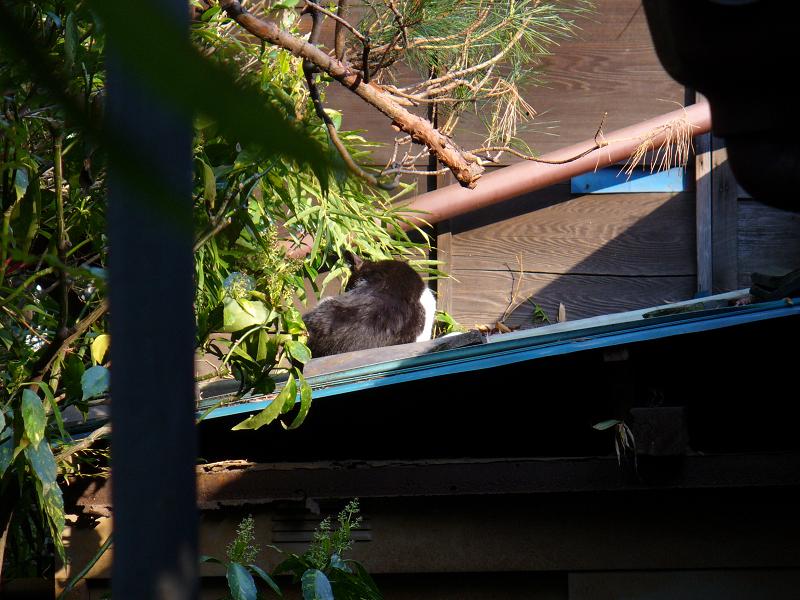 青い屋根の黒白猫1