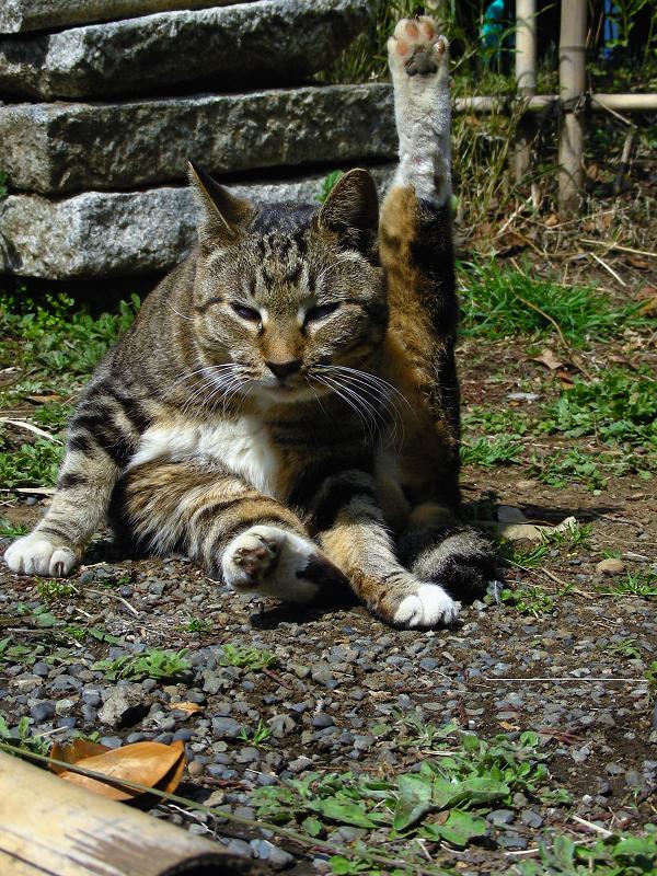 足を上げて毛づくろい中のキジ白猫2