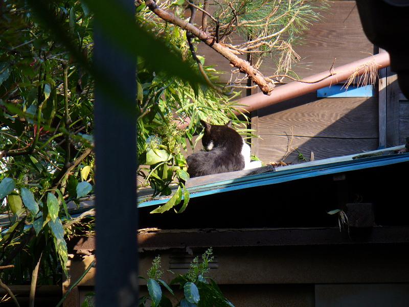 青い屋根の黒白猫2