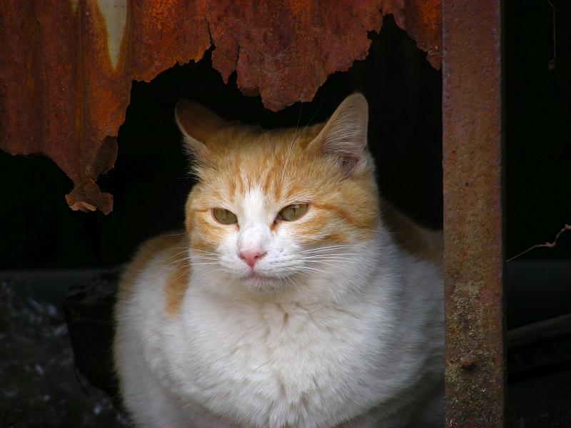 トタン板の隙間から茶白猫3